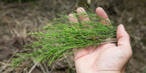 A bundle of horsetail in hand